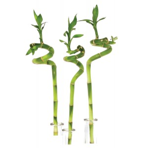 /_f/afonya/lucky-bamboo-turned-40cm-in-tupe-001.jpg